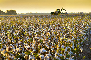 US36090 Clarksdale, Mississippi, Cotton Field, Delta