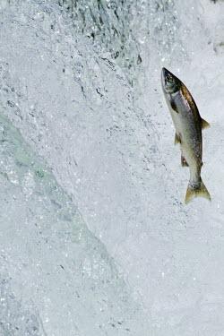 HMS0462479 United States, Alaska, Katmai national park, Brooks river, sockeye salmon