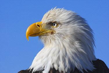 HMS0514305 United States, Alaska, Homer, bald eagle or american osprey (Haliaeetus leucocephalus)