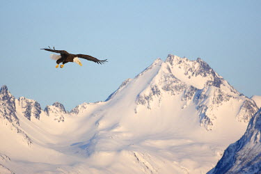 HMS0514308 United States, Alaska, Homer, bald eagle or american osprey (Haliaeetus leucocephalus)
