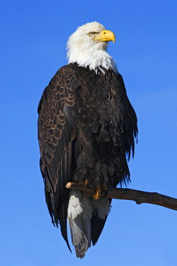HMS0514313 United States, Alaska, Homer, bald eagle or american osprey (Haliaeetus leucocephalus)