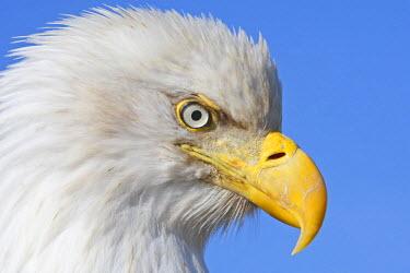 HMS0514315 United States, Alaska, Homer, bald eagle or american osprey (Haliaeetus leucocephalus)
