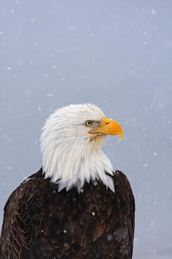 HMS0514318 United States, Alaska, Homer, bald eagle or american osprey (Haliaeetus leucocephalus)