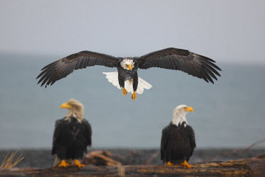 HMS0543371 United States, Alaska, bald eagle (Haliaeetus leucocephalus)