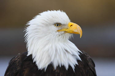 HMS0543385 United States, Alaska, bald eagle (Haliaeetus leucocephalus)
