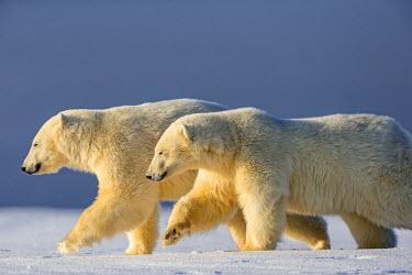 HMS1803148 United States, Alaska, Arctic National Wildlife Refuge, Kaktovik, Polar Bear( Ursus maritimus ), mother with one cub along a barrier island outside Kaktovik, Alaska. Every fall, polar bears (Ursus mar...