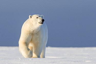 HMS1803149 United States, Alaska, Arctic National Wildlife Refuge, Kaktovik, Polar Bear( Ursus maritimus ), 2 and 10 months years old cub along a barrier island outside Kaktovik, Alaska. Every fall, polar bears...