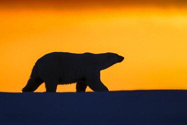 HMS1803162 United States, Alaska, Arctic National Wildlife Refuge, Kaktovik, Polar Bear( Ursus maritimus ), in the sunset along a barrier island outside Kaktovik, Alaska. Every fall, polar bears (Ursus maritimus...