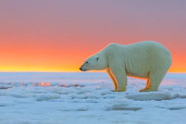 HMS1803165 United States, Alaska, Arctic National Wildlife Refuge, Kaktovik, Polar Bear( Ursus maritimus ), in the sunset along a barrier island outside Kaktovik, Alaska. Every fall, polar bears (Ursus maritimus...