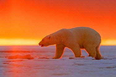 HMS1803168 United States, Alaska, Arctic National Wildlife Refuge, Kaktovik, Polar Bear( Ursus maritimus ), in the sunset along a barrier island outside Kaktovik, Alaska. Every fall, polar bears (Ursus maritimus...