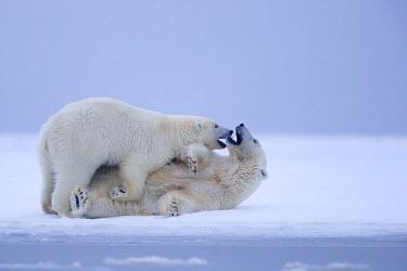 HMS1803241 United States, Alaska, Arctic National Wildlife Refuge, Kaktovik, Polar Bear( Ursus maritimus ), mother with one cub playing along a barrier island outside Kaktovik, Alaska. Every fall, polar bears (U...