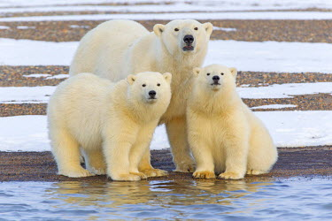 HMS1822781 United States, Alaska, Arctic National Wildlife Refuge, Kaktovik, Polar Bear (Ursus maritimus), female adult with 2 cubs from the year, along a barrier island outside Kaktovik