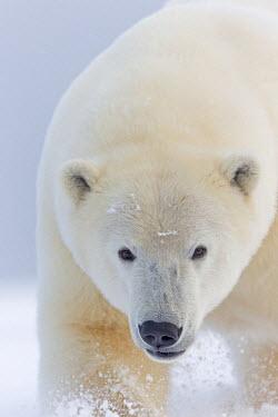HMS1822806 United States, Alaska, Arctic National Wildlife Refuge, Kaktovik, Polar Bear (Ursus maritimus), along a barrier island outside Kaktovik , 2 and 10 months years old cub