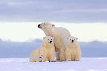 HMS1867135 United States, Alaska, Arctic National Wildlife Refuge, Kaktovik, polar bear (Ursus maritimus), female and two young of the year