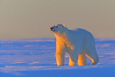 HMS1867172 United States, Alaska, Arctic National Wildlife Refuge, Kaktovik, polar bear (Ursus maritimus)