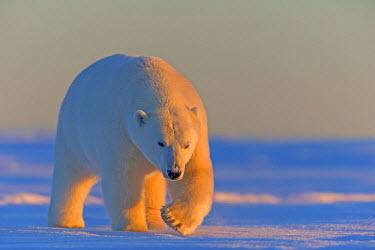 HMS1867176 United States, Alaska, Arctic National Wildlife Refuge, Kaktovik, polar bear (Ursus maritimus)