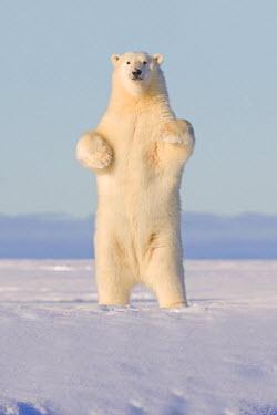 HMS1907382 United States, Alaska, Arctic National Wildlife Refuge, Kaktovik, Polar Bear (Ursus maritimus), standing up