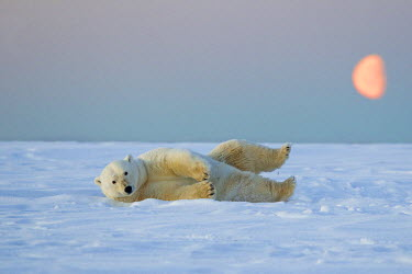 HMS1907393 United States, Alaska, Arctic National Wildlife Refuge, Kaktovik, Polar Bear (Ursus maritimus), subadult