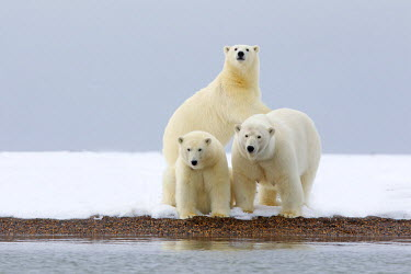 HMS1907410 United States, Alaska, Arctic National Wildlife Refuge, Kaktovik, Polar Bear (Ursus maritimus), female adult with 2 cubs from the year