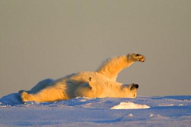 HMS1907468 United States, Alaska, Arctic National Wildlife Refuge, Kaktovik, Polar Bear (Ursus maritimus), subadult