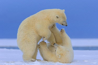 HMS1907476 United States, Alaska, Arctic National Wildlife Refuge, Kaktovik, Polar Bear (Ursus maritimus), mother with one cub playing together