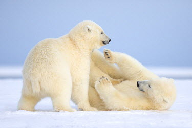 HMS1907482 United States, Alaska, Arctic National Wildlife Refuge, Kaktovik, Polar Bear (Ursus maritimus), mother with one cub playing together