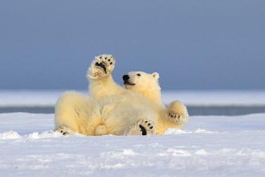 HMS1907484 United States, Alaska, Arctic National Wildlife Refuge, Kaktovik, Polar Bear (Ursus maritimus), rolling in the snow for making his toilet