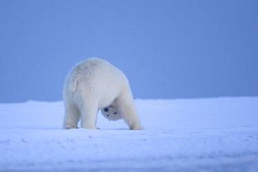 HMS1907490 United States, Alaska, Arctic National Wildlife Refuge, Kaktovik, Polar Bear (Ursus maritimus), subadult