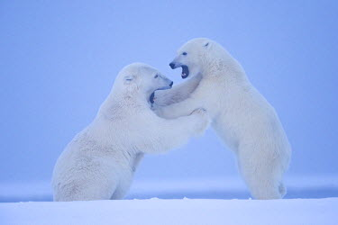 HMS1907496 United States, Alaska, Arctic National Wildlife Refuge, Kaktovik, Polar Bear (Ursus maritimus), mother with one cub playing together