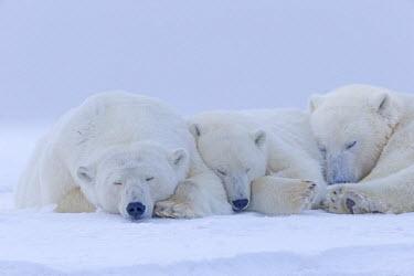 HMS1907497 United States, Alaska, Arctic National Wildlife Refuge, Kaktovik, Polar Bear (Ursus maritimus), female adult with 2 cubs