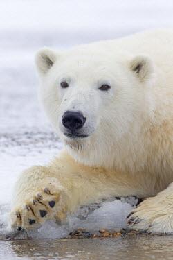 HMS1907498 United States, Alaska, Arctic National Wildlife Refuge, Kaktovik, Polar Bear (Ursus maritimus), subadult