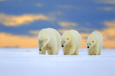 HMS1907540 United States, Alaska, Arctic National Wildlife Refuge, Kaktovik, Polar Bear (Ursus maritimus), female adult with 2 cubs