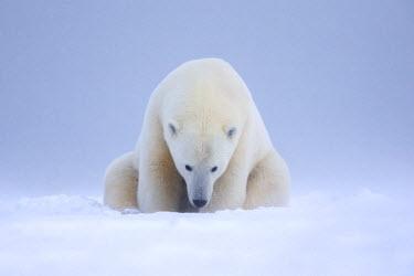 HMS1907547 United States, Alaska, Arctic National Wildlife Refuge, Kaktovik, Polar Bear (Ursus maritimus), subadult