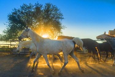 HMS2191605 United States, Arizona, Tucson, White Stallion Ranch, cow boy