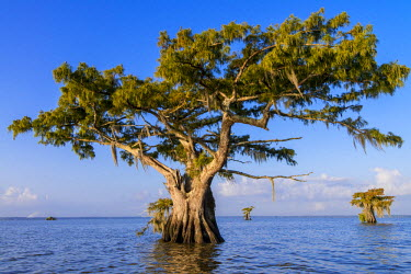 HMS2163220 United States, Louisiana, Spanish moss (Tillandsia usneoides) on Cypress Bayou in Lake Fausse Pointe