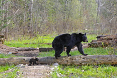 HMS0537003 United States, Minnesota, black bear, female adulte with spring cub 4 months old (Ursus americanus)