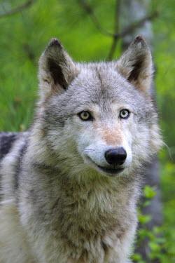 HMS0659129 Wolf (Canis lupus), Minnesota, USA