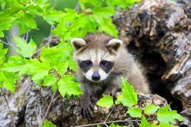 HMS2428546 United States, Minnesota, Raccoon or racoon (Procyon lotor), youngs