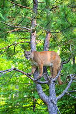 HMS2428577 United States, Minnesota, Cougar (Puma concolor), also known as the mountain lion,