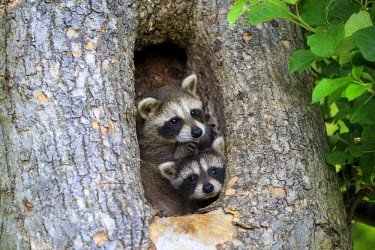 HMS2428583 United States, Minnesota, Raccoon or racoon (Procyon lotor), youngs