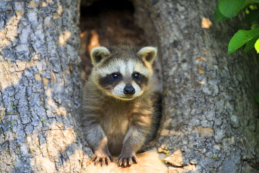 HMS2428584 United States, Minnesota, Raccoon or racoon (Procyon lotor), young
