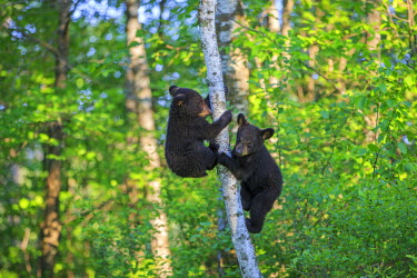 HMS2428653 United States, Minnesota, Black bear(Ursus americanus), youngs in a tree