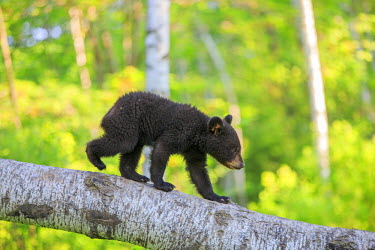 HMS2428657 United States, Minnesota, Black bear(Ursus americanus), young in a tree