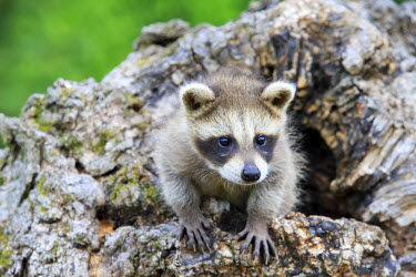 HMS2428661 United States, Minnesota, Raccoon or racoon (Procyon lotor), youngs