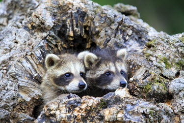 HMS2428662 United States, Minnesota, Raccoon or racoon (Procyon lotor), youngs