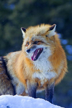 HMS0836656 United States, Montana, Bozeman, Red fox (Vulpes vulpes)