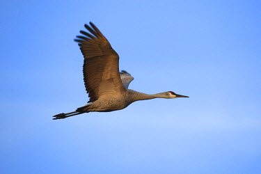 HMS0522550 United States, New Mexico, National wildlife refuge of Bosque del Apache, sandhill crane (Grus canadensis)