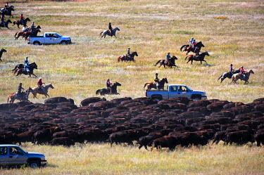 HMS0866215 United States, South Dakota, Custer State Park, The Buffalo roundup in November