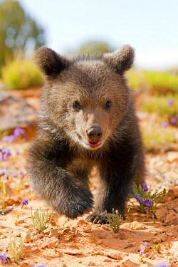 HMS0876474 United States, Utah, Grizzly bear (Ursus arctos horribilis)