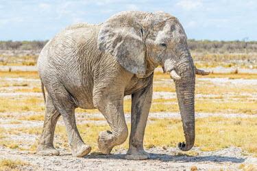 NAM6321AW Africa, Namibia, Ethosha National Park. A big male elephant in the Ethosha Park.